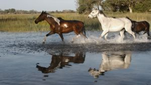 Horses returning from grazing