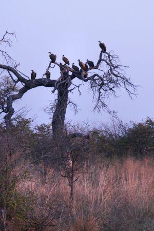 Buzzards near a kill